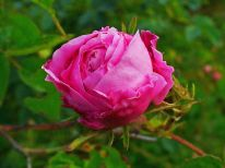 1595px-rosa_centifolia_002