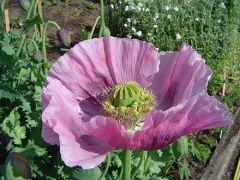 440px-opium_poppy